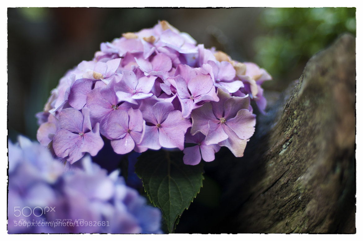 Photograph Hydrangea by Christian BERND on 500px