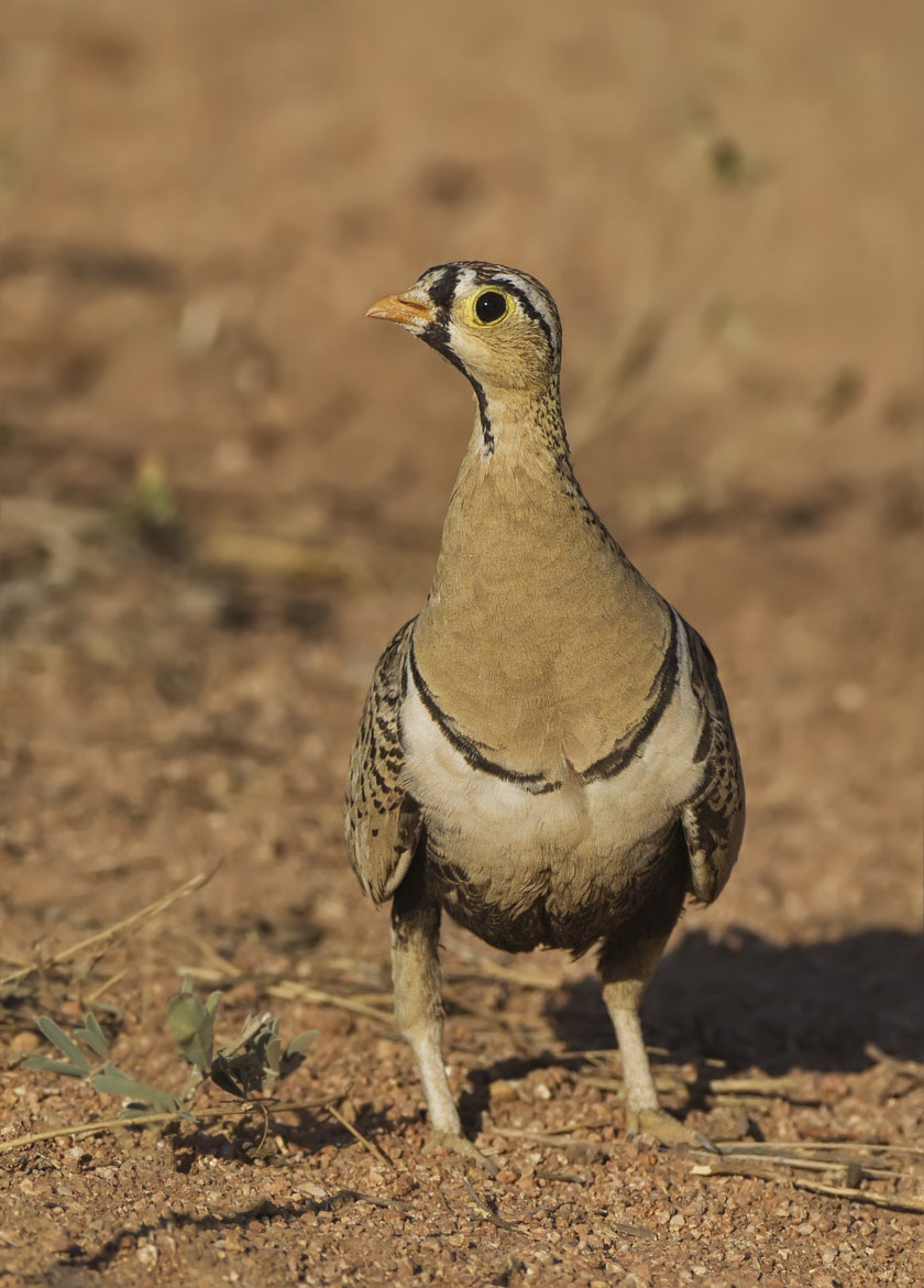 Photograph Black Faced Sandgrouse by Ken Watkins on 500px
