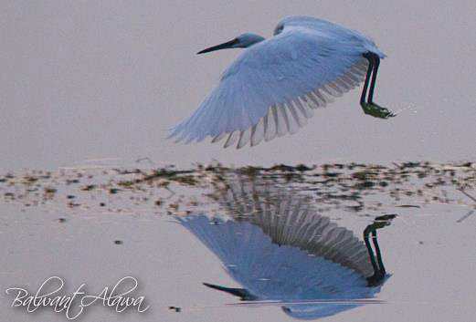 Photograph Little Egret by Balwant Alawa on 500px