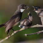 Pied Fantail Mother and Babies