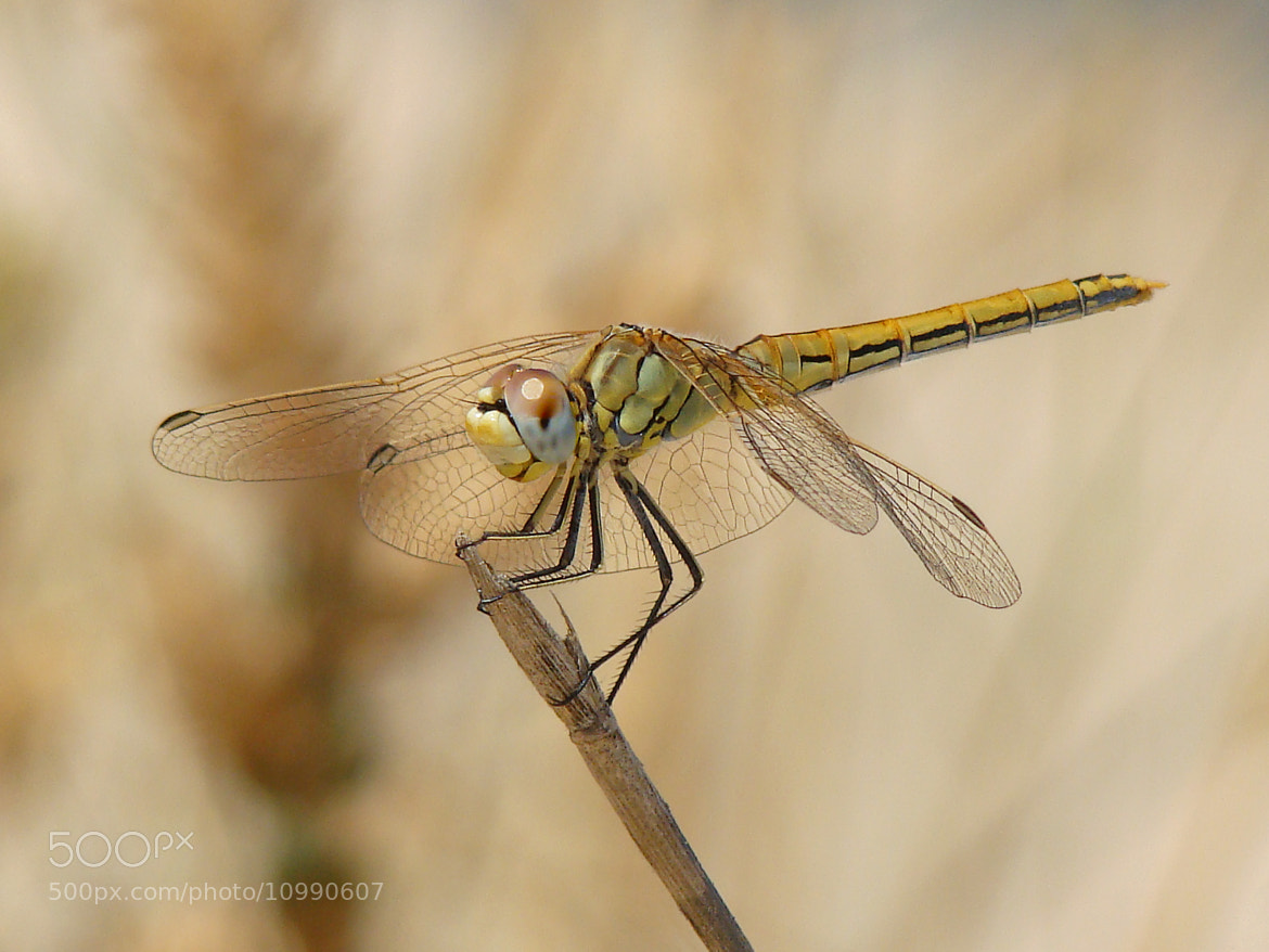 Photograph The Smiling Dragonfly by Carla Brito Ribeiro on 500px