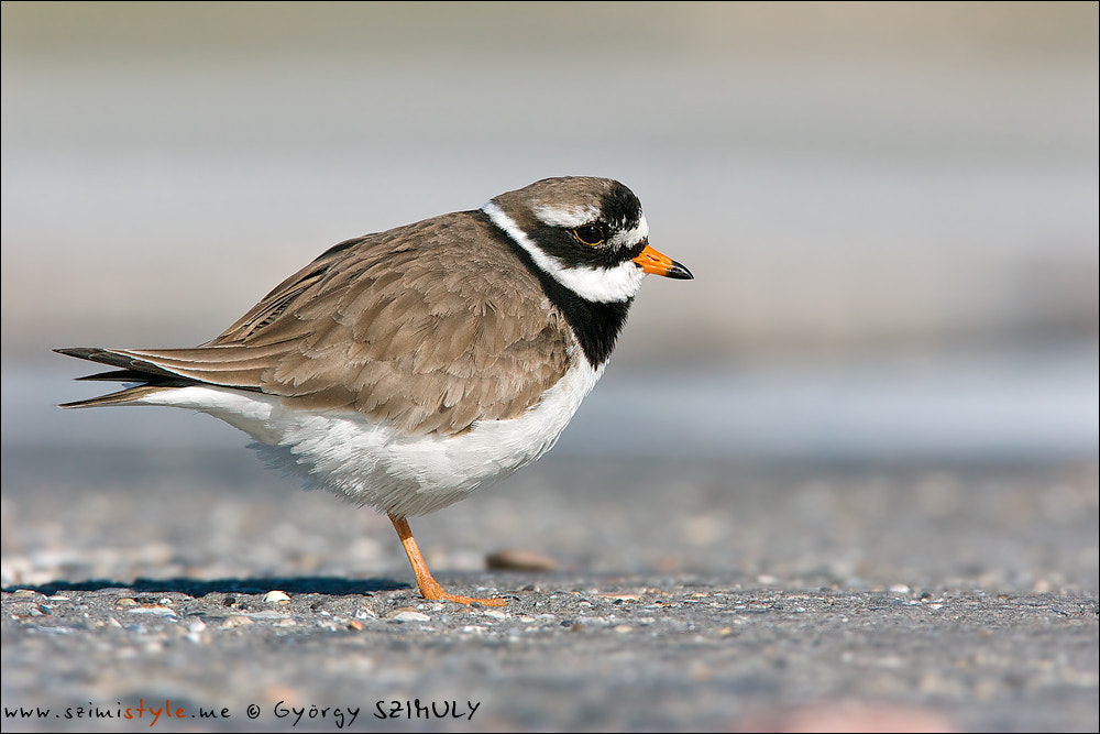 Photograph Common Ringed Plover (Charadrius hiaticula) by Gyorgy Szimuly on 500px