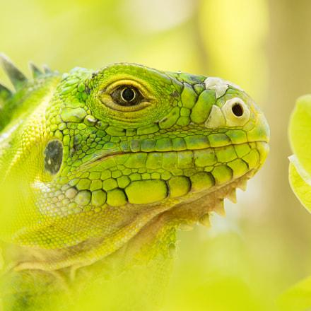 Juvenile Lesser Antillean iguana