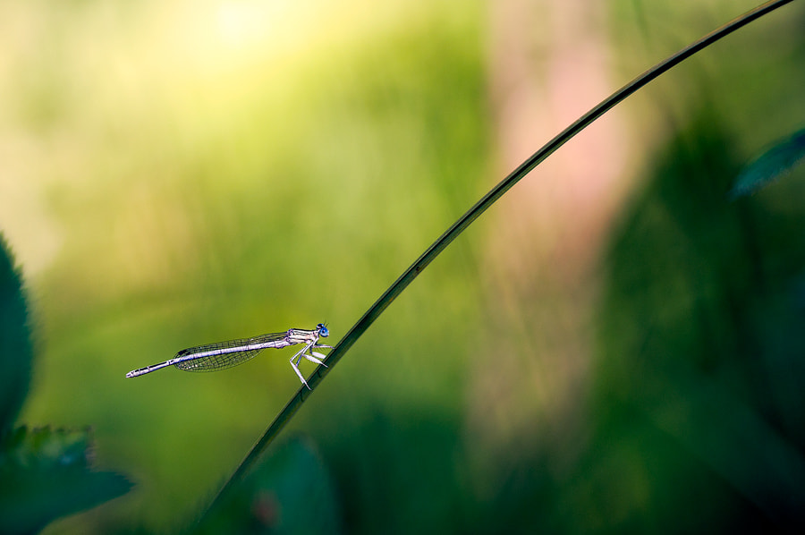 Photograph damselfly by Thomas Baillieux on 500px