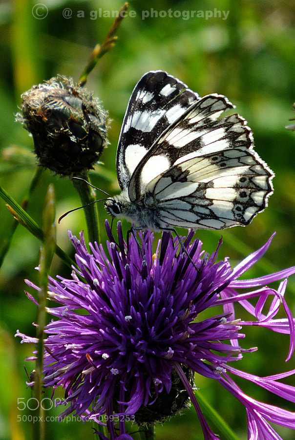 Photograph Marbled White Butterfly by Roger Ford on 500px