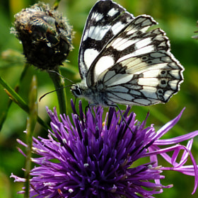 Marbled White Butterfly by Roger Ford (rogerfordphotography)) on 500px.com
