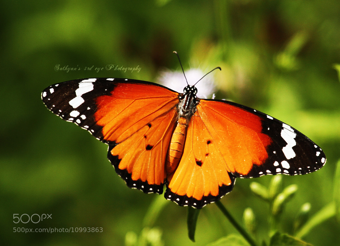 Photograph Tiger butterfly by Sathya S R on 500px