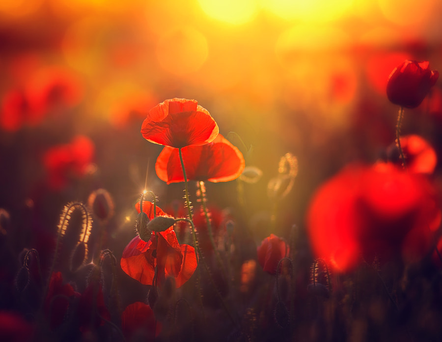 Poppy light by Maurizio Fecchio on 500px.com