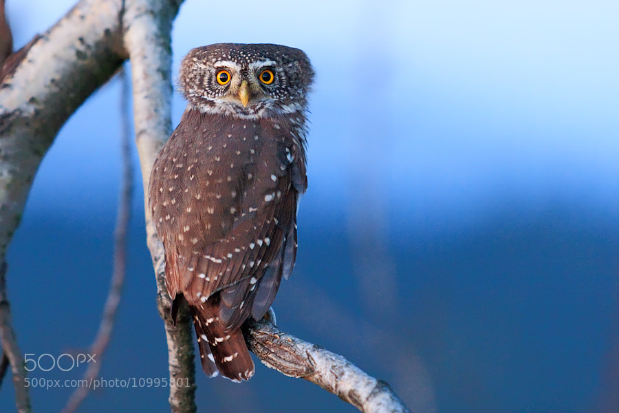 Photograph Glaucidium passerinum by Thomas Marth on 500px