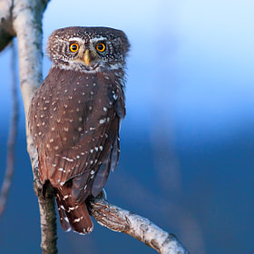 Glaucidium passerinum by Thomas Marth (ThomasMarth)) on 500px.com
