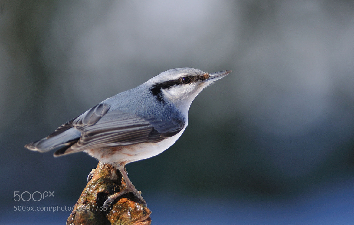 Photograph Nuthatch by Ronnie Bergström on 500px