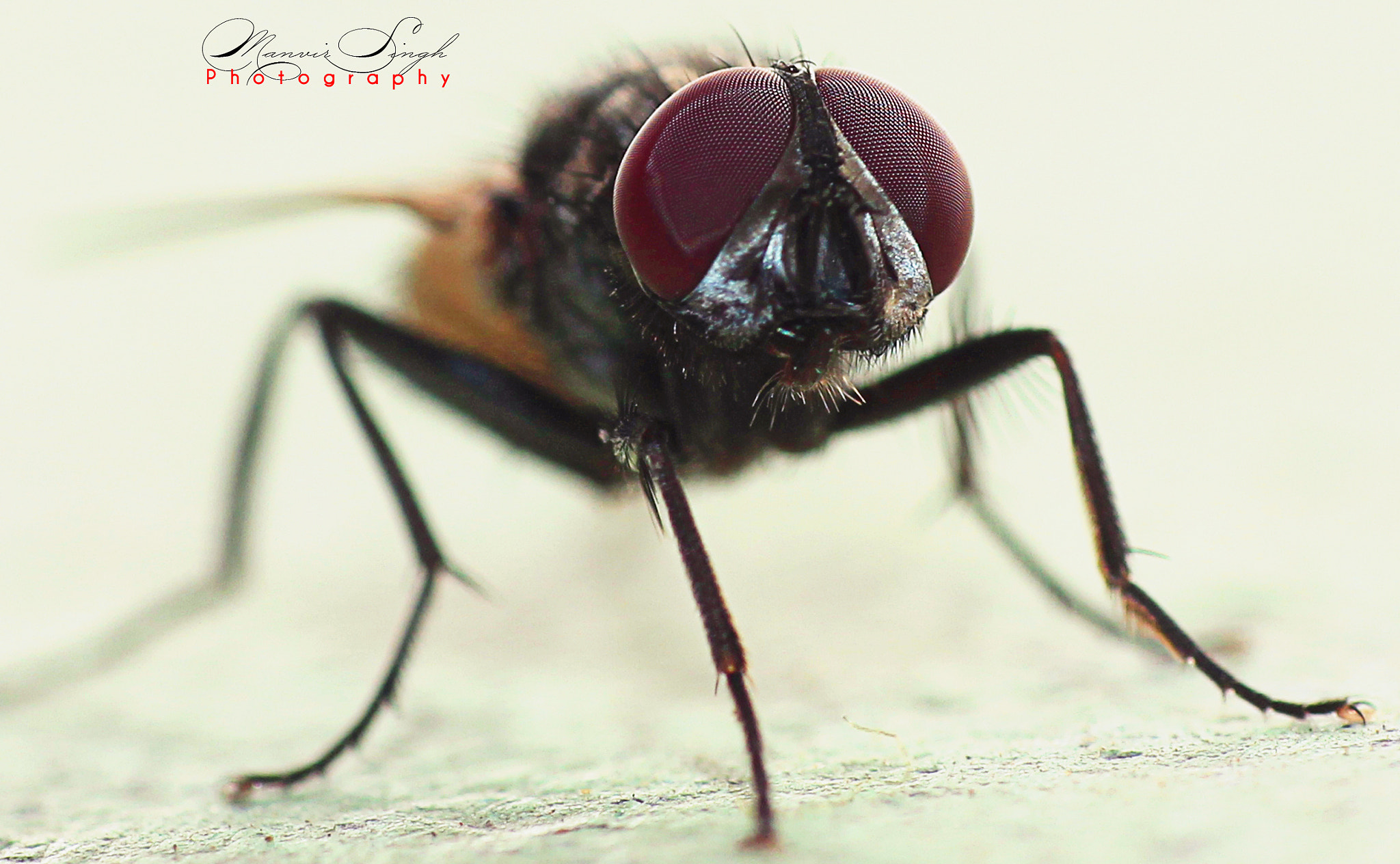 Photograph Fly Macro by Manvir  Singh on 500px