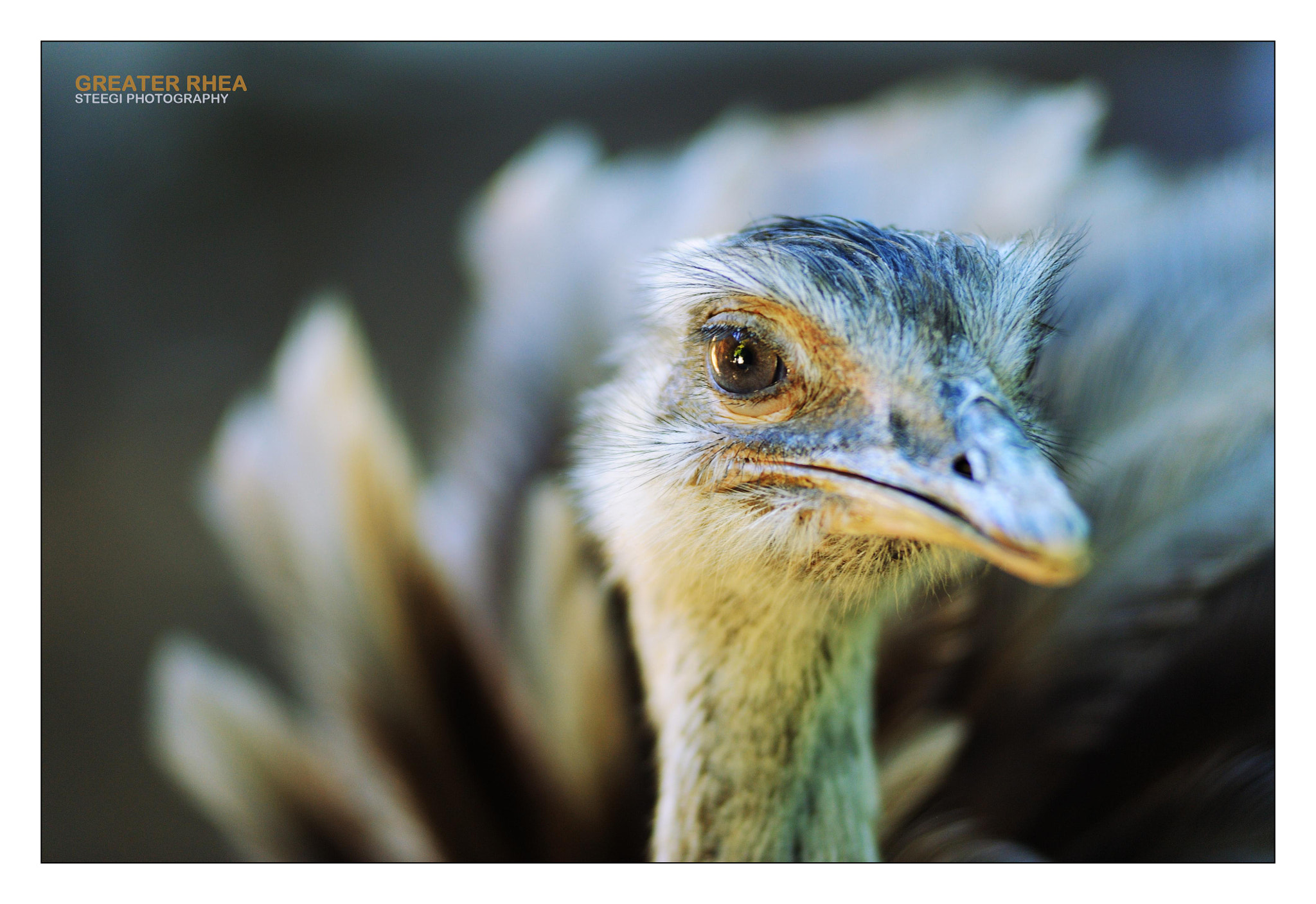 Photograph Greater Rhea by Andreas Steegmann on 500px