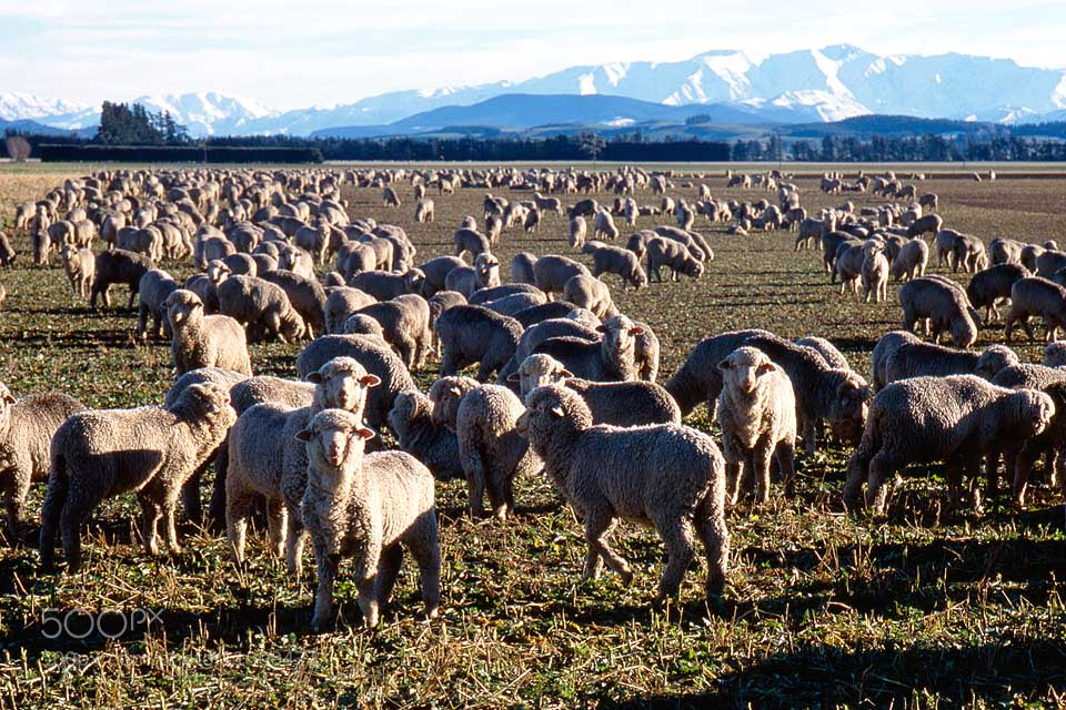 Photograph Sheep, New Zealand by Paula Smith on 500px