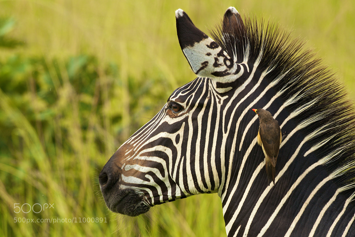 Photograph Zebra with oxpecker by Johan Elzenga on 500px