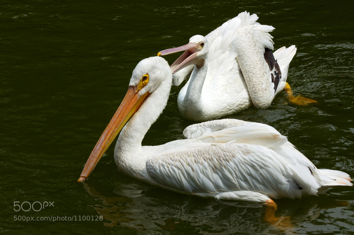 Photograph Pelican Attack! by Ralph Daily on 500px