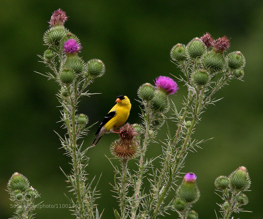 Photograph Teasle Goldfinch by Bill McCormack on 500px
