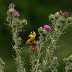 Teasle Goldfinch by Bill McCormack (wmccormack)) on 500px.com