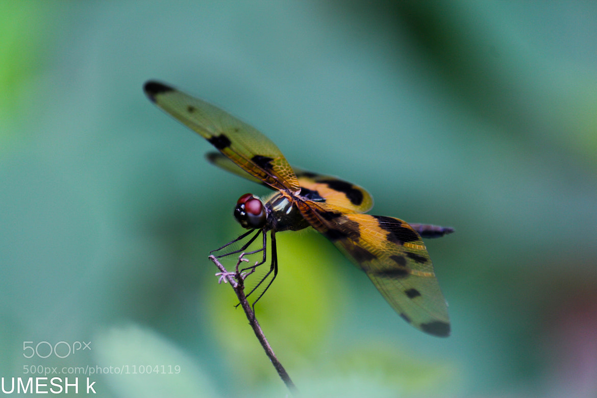 Photograph Dragonfly by Umesh Kathad on 500px