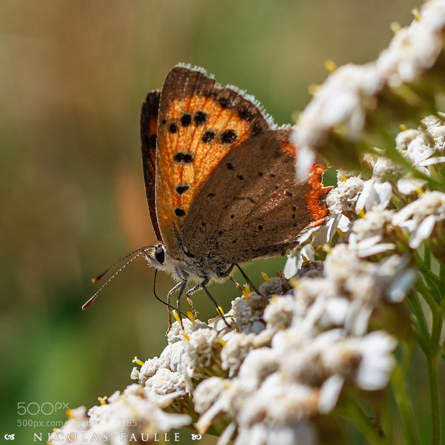 Photograph Butterfly by Nicolas Faulle on 500px