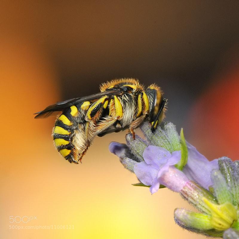 Photograph wild bee before waking by Franco Mottironi on 500px