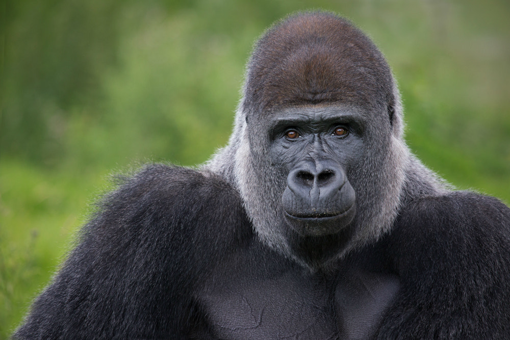 Photograph Silverback by Billy Currie on 500px