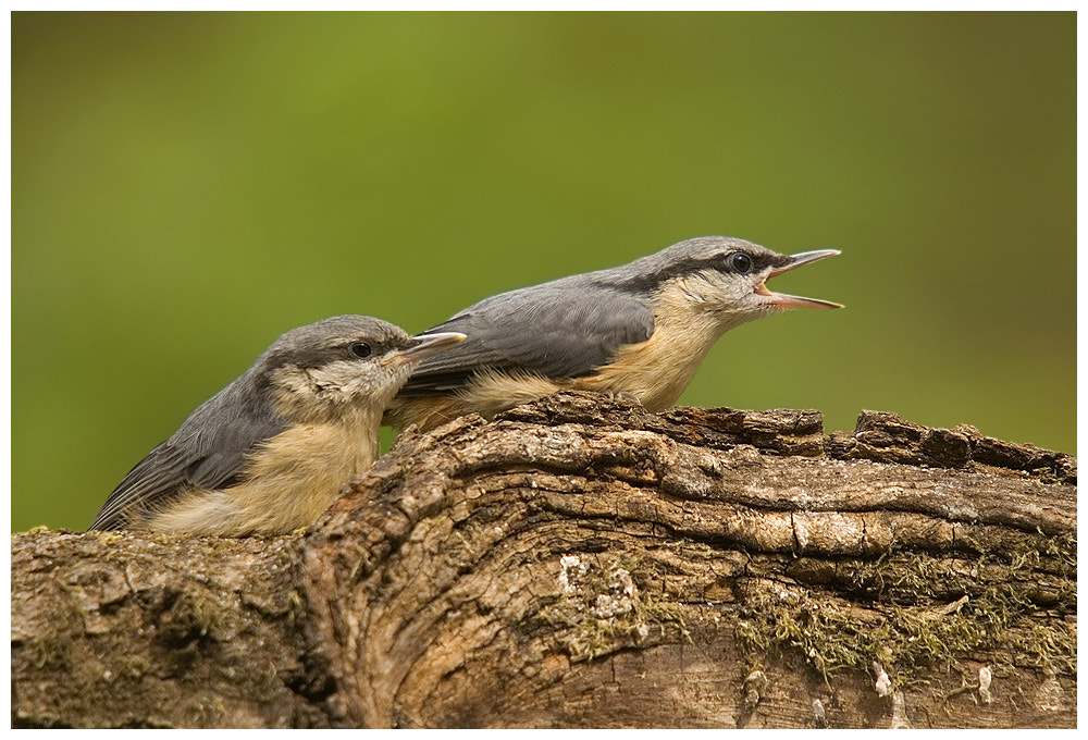 Photograph Young Nuthatches by Geoffrey Baker on 500px