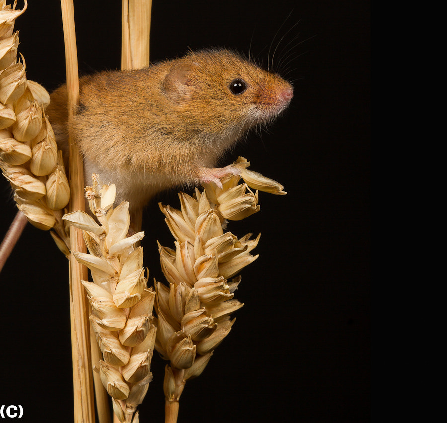 Photograph fieldmouse by Brian photoman on 500px