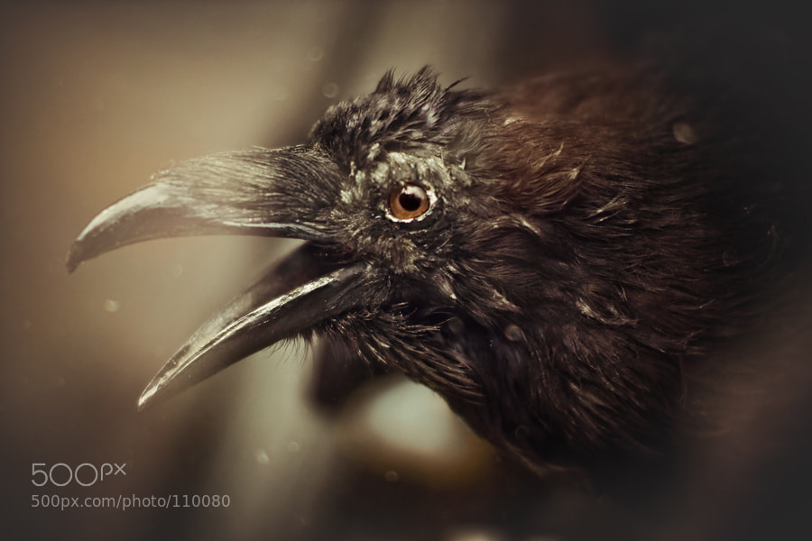 Photograph Raven by alexander kan on 500px