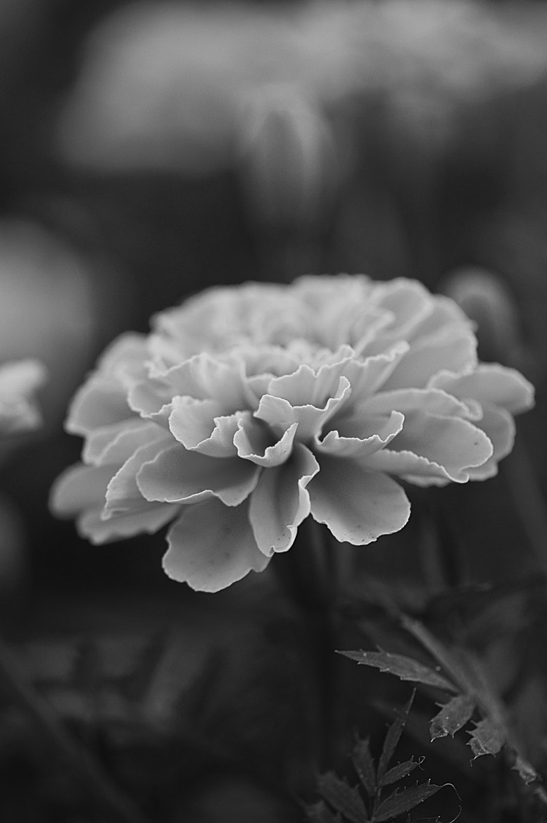 Photograph marigold (B&W version) by Cesar Samiano on 500px