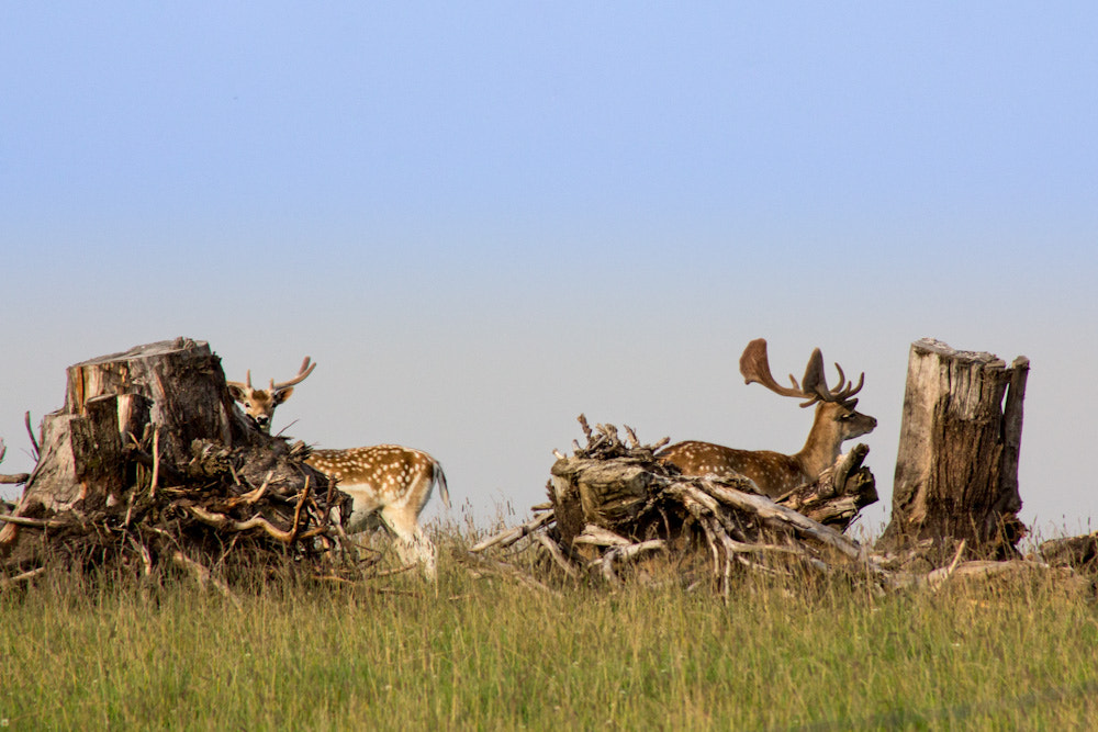 Photograph Fallow-deer behind the stumps by Mindaugas Macaitis on 500px