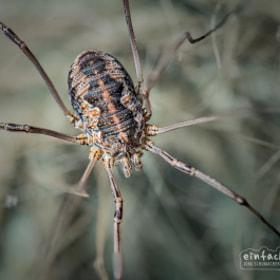 Weberknecht / Spider