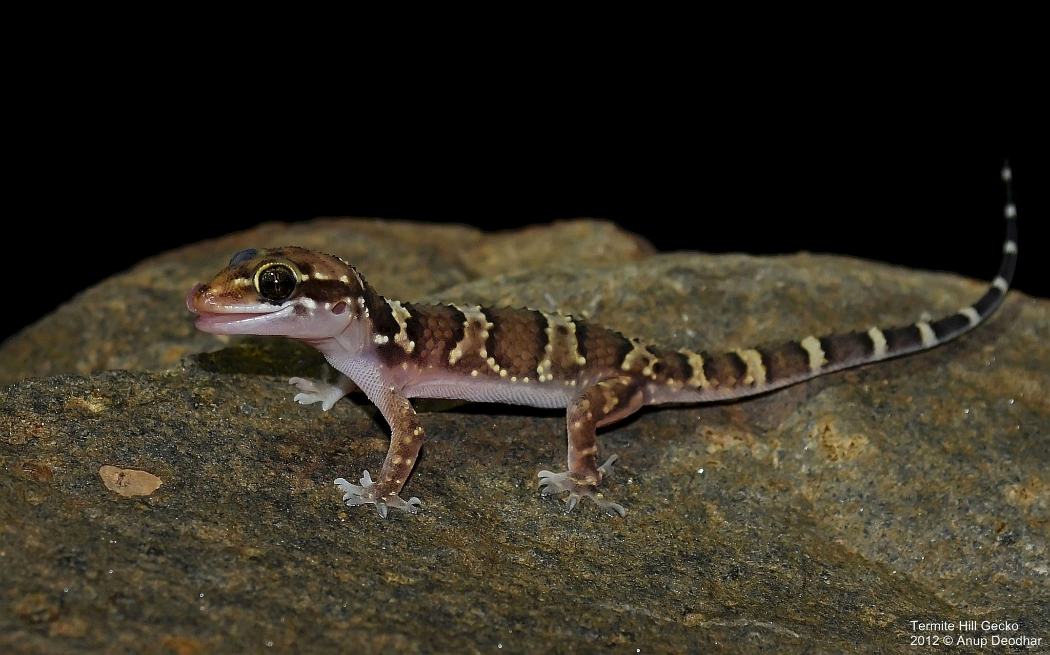 Photograph Termite Hill Gecko by Anup Deodhar on 500px