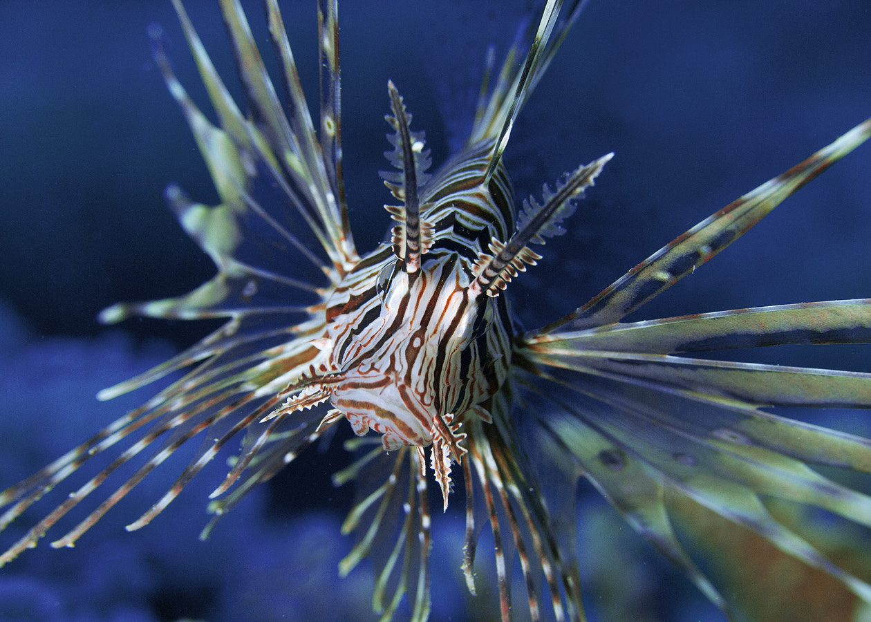 Photograph Lion Fish by Mohammed Assiri on 500px