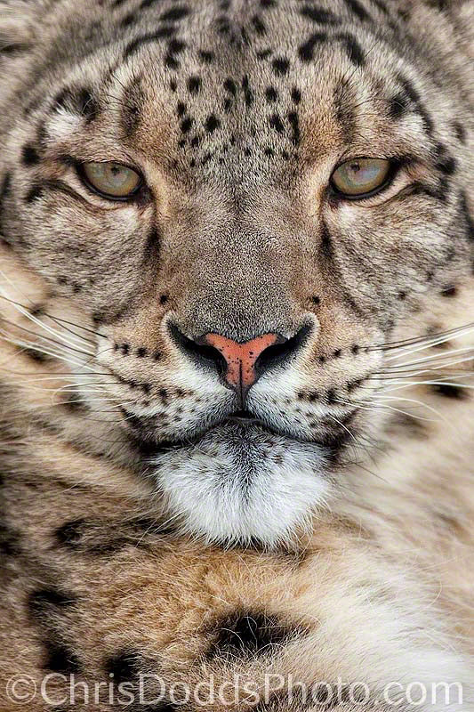 Photograph INTENSITY Snow Leopard by Christopher Dodds on 500px