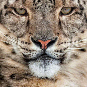 INTENSITY Snow Leopard by Christopher Dodds (ChristopherDodds)) on 500px.com