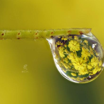 Mimosa riflessa