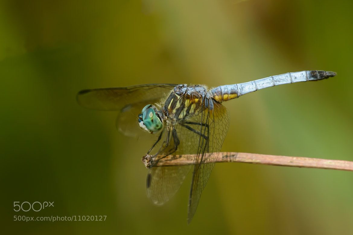Photograph Blue Dasher - Pachydiplax longipennis by Myer Bornstein on 500px