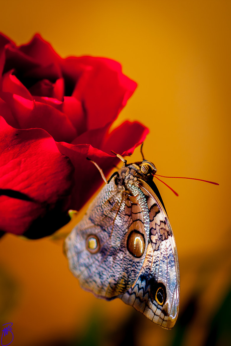 Photograph Butterfly on rose by Boris W. Blanco Meza on 500px