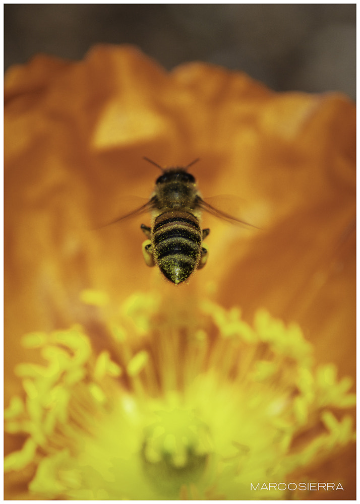 Photograph The Bee by Marco Antonio on 500px