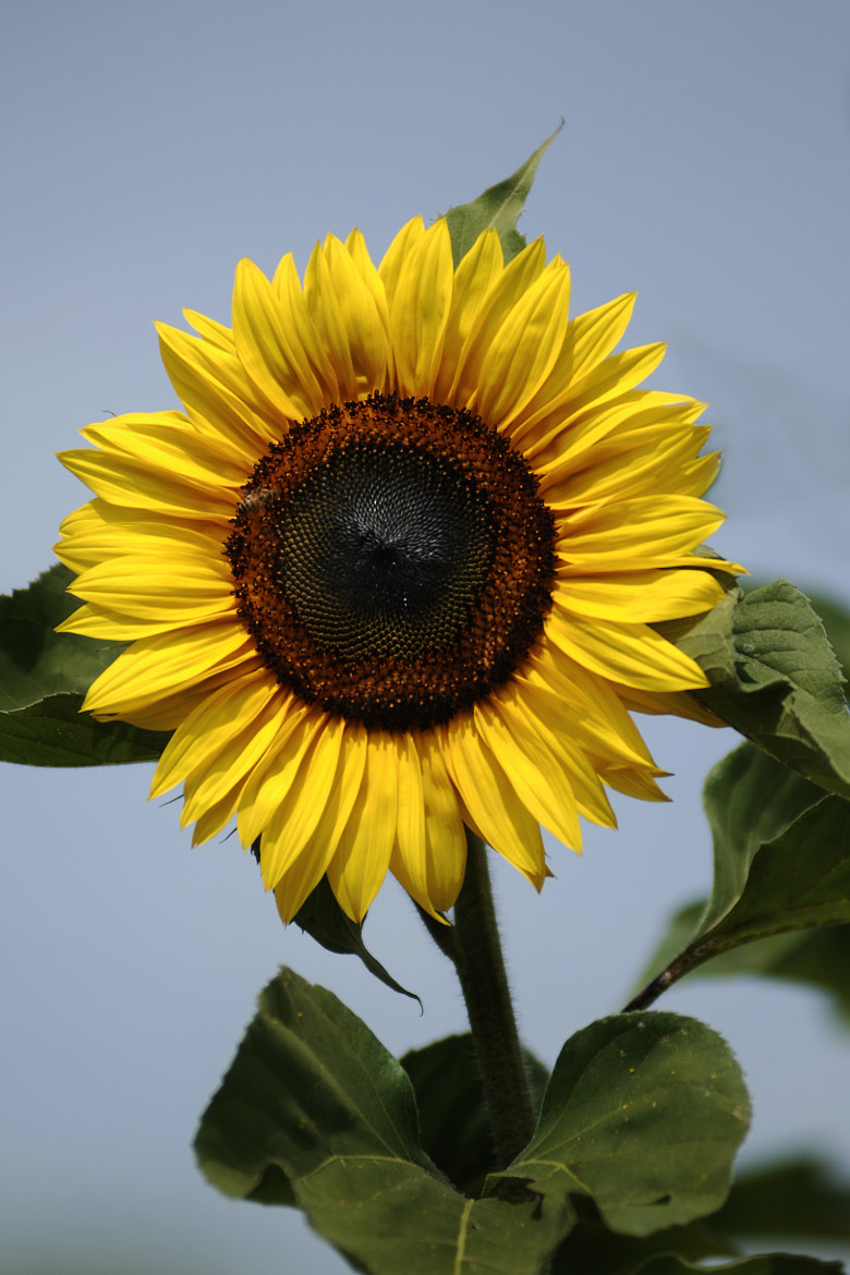 Photograph Sunflower with leaves by Cristobal Garciaferro Rubio on 500px