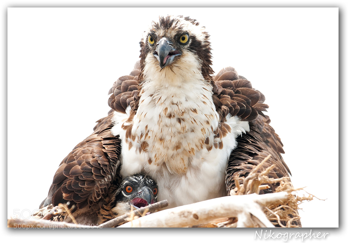 Photograph Osprey Love by Jon | Nikographer.com on 500px