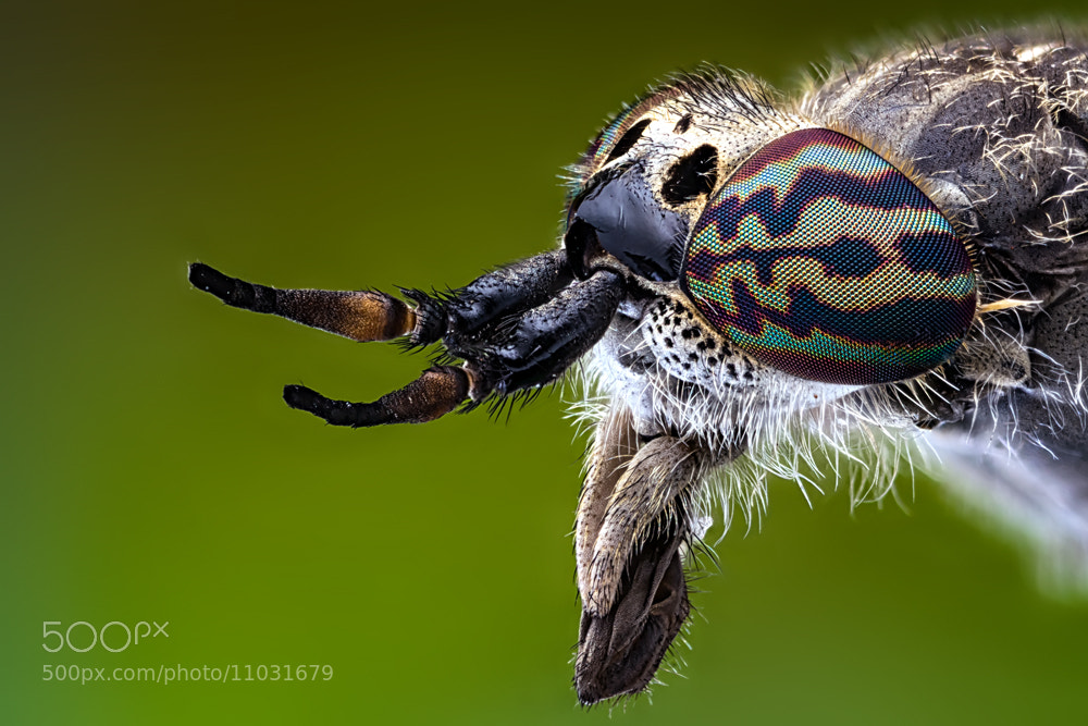 Photograph Tabanidae by Markus Reugels on 500px