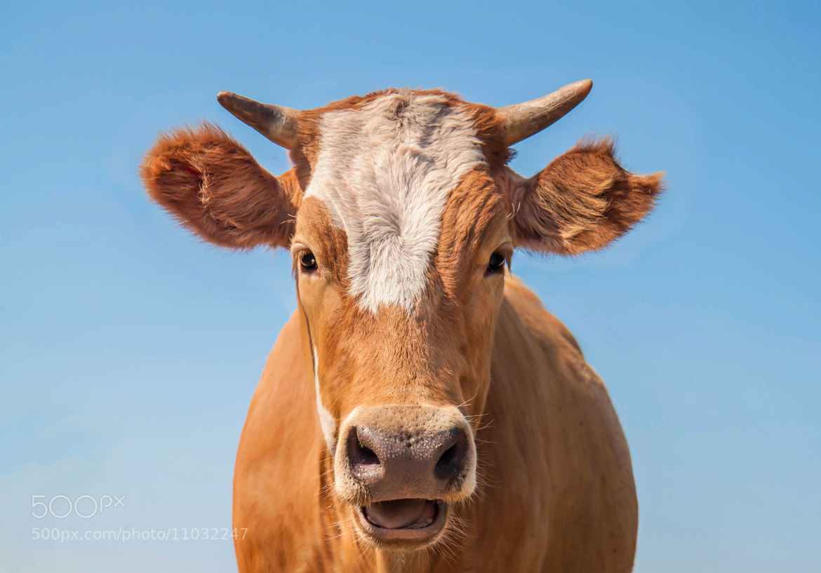 Photograph Oh, la vache! :)) by Tatiana K on 500px