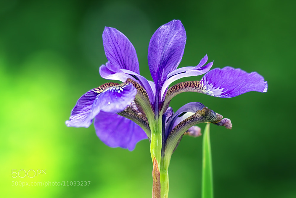 Photograph Iris by Markus Reugels on 500px