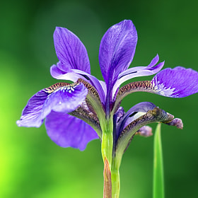 Iris by Markus Reugels (MarkusReugels)) on 500px.com