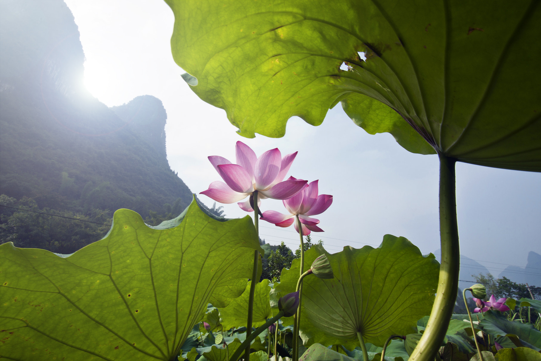 Photograph Lotus by Calvin lee on 500px
