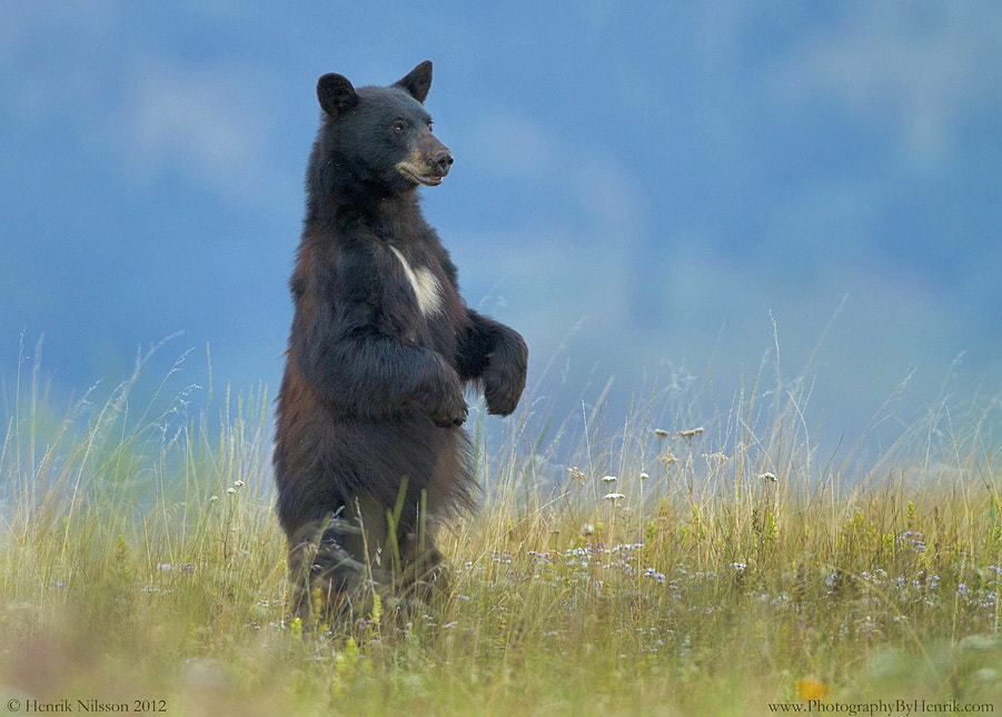 Photograph Black Bear and Wildflowers by Henrik Nilsson on 500px