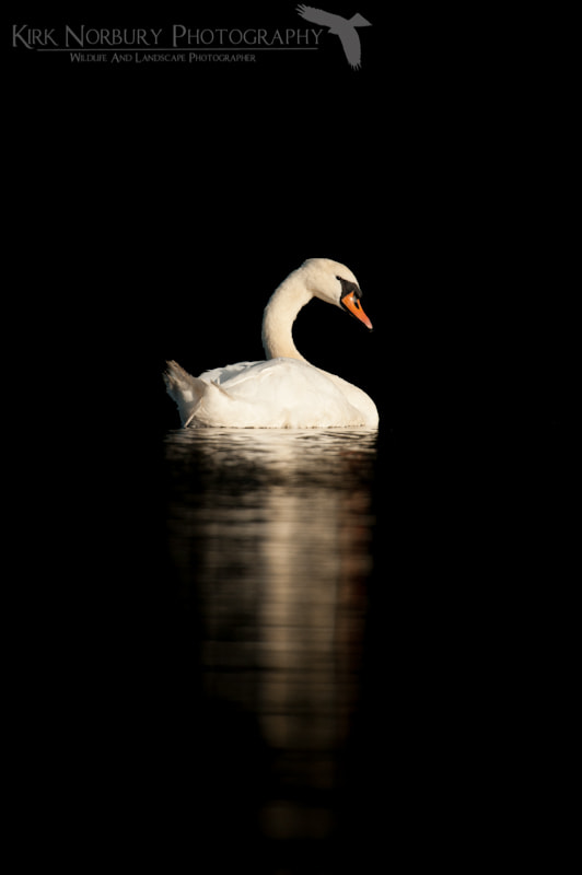 Photograph Mute Swan On Black by Kirk Norbury on 500px