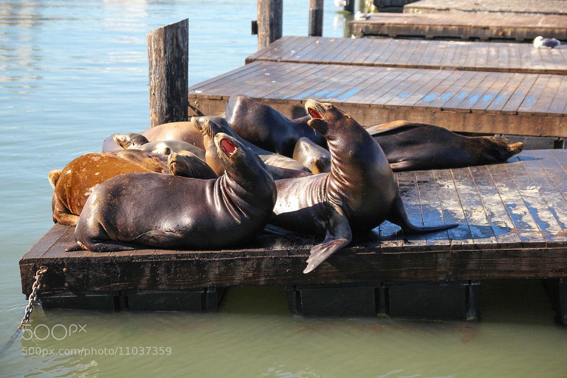 Photograph sea lions in san francisco by Dara Pilugina on 500px